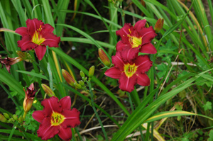 Daylily Clumps 2015: DARKLING (VT)