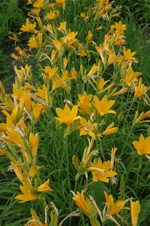 Daylily Clumps 2015: H. midd 'Japan Hybrid' green br