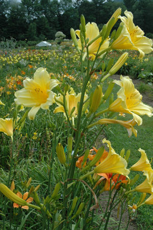 Daylily Clumps 2015: PURITY