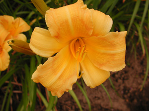 daylilies: BUTTERSCOTCH HARVEST (VT)