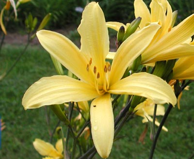 daylilies: UP 9-7-03 (VT)