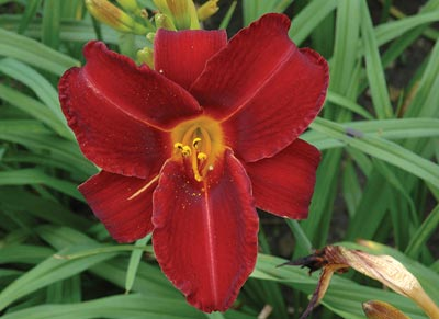 daylilies: OLALLIE FLAMENCO type (VT)