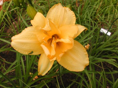 daylilies: DOUBLE DAFFODIL