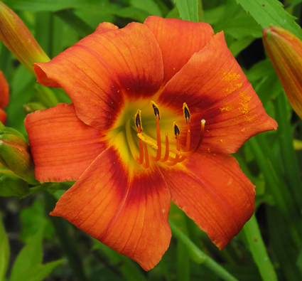 daylilies: OLALLIE KEITH STONE'S SUNSET(40-09)