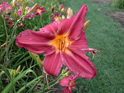 daylilies: HIGH POINT (VT)