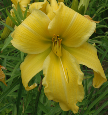 daylilies: HUGE YELLOW (VT)
