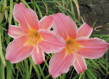 daylilies: SHINE ON (VT)