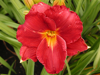 daylilies: SHOW GIRL SMILE