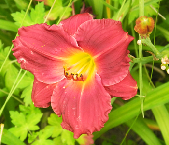 daylilies: SILOAM RED RUBY