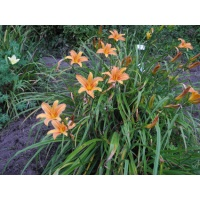 Daylily Clumps 2015: H. sempervirens type