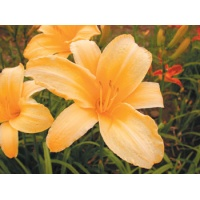 daylilies: CANARY GIANT (VT)
