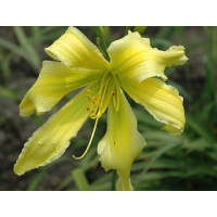 daylilies: SPIDER MIRACLE