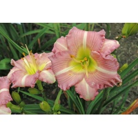 daylilies: PLAYFUL DISCOURSE