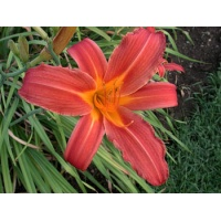 daylilies: CHRISTMAS RED (VT)