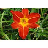daylilies: DOUBLE BEAUTY