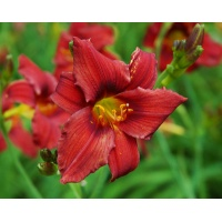 daylilies: OLALLIE RED FLARE (VT)