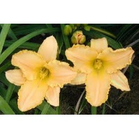 daylilies: ANGEL'S DELIGHT