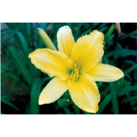 daylilies: HYPERION SUPREME