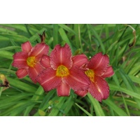 daylilies: LITTLE WINE CUP