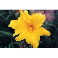 daylilies: LOOK