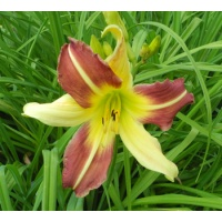 daylilies: MAGIC DAWN