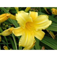 daylilies: MARY TODD