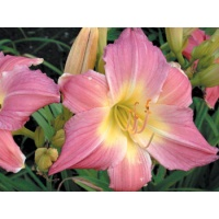 daylilies: PURPLE GIANT (VT)