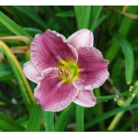 daylilies: SILOAM ART WORK