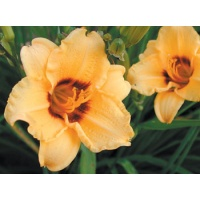daylilies: SILOAM JUNE BUG