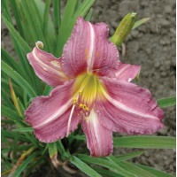 daylilies: SMALL LAVENDER (VT)