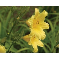 daylilies: TOY TRUMPETS