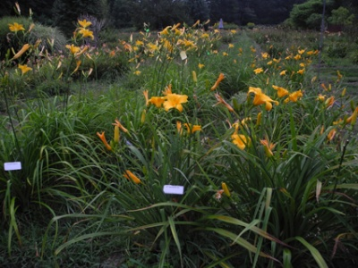 Daylily Clumps 2015: QUIZZICAL (VT)