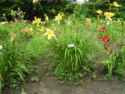 Daylily Clumps 2015: SPIDER BREEDER