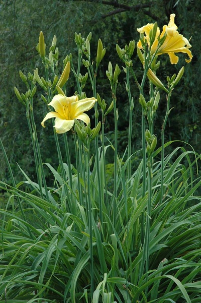 Daylily Scapes: scapes
