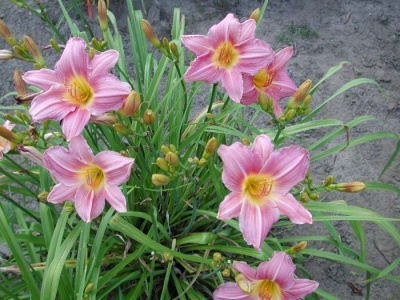 daylily blooms: VISIBLE TALENT (VT)