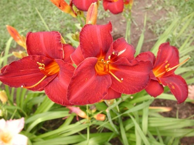 daylily blooms: OLALLIE ROYAL VELVET