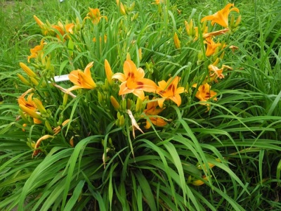 daylily blooms: blms