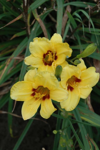 daylily blooms: SILOAM JUNE BUG