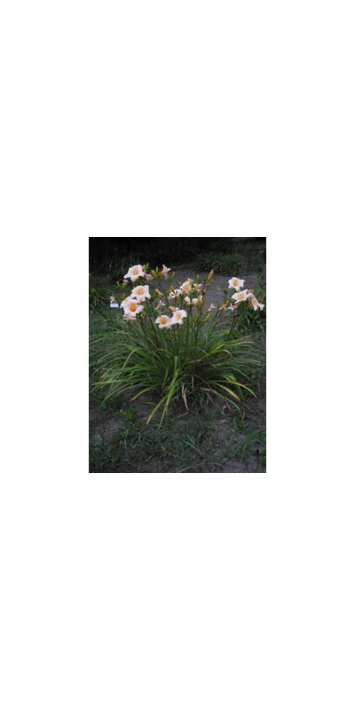 Daylily Clumps 2015: DIMPLED CHEEKS (VT)