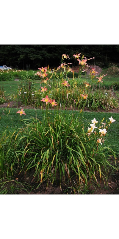 Daylily Clumps 2015: CHALLENGER