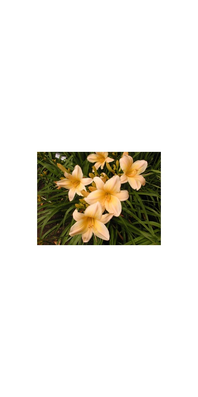 Daylily Clumps 2015: OLALLIE DAWN