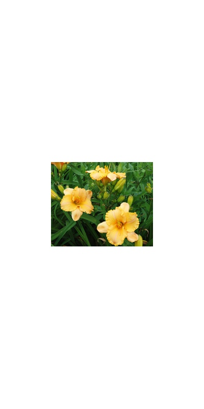 Daylily Clumps 2015: PURE AND SIMPLE