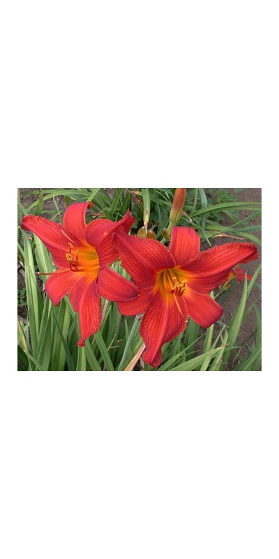 daylilies: CHRIS' VELVET RED (VT)