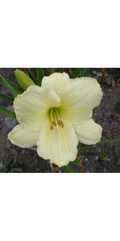 daylilies: GREAT CONNECTIONS