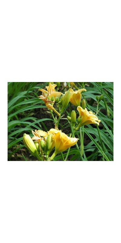 daylilies: LITTLE PUMPKIN FACE