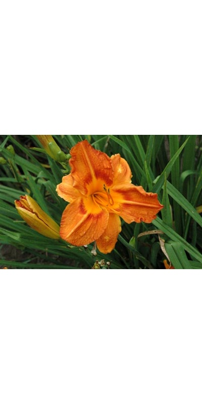 daylilies: OLALLIE CHRISTOPHER