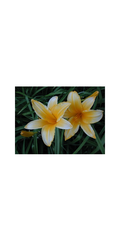 daylilies: OLALLIE ORANGE