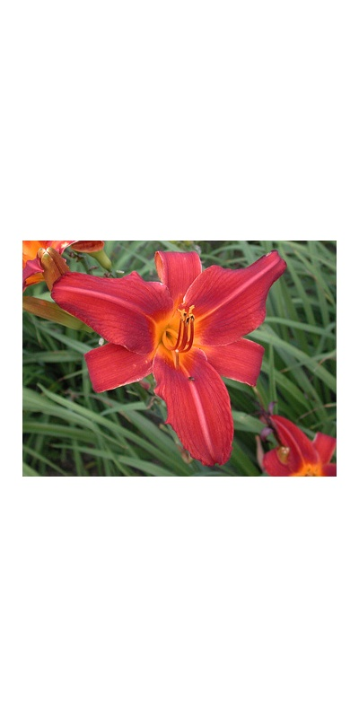 daylilies: OLALLIE RED