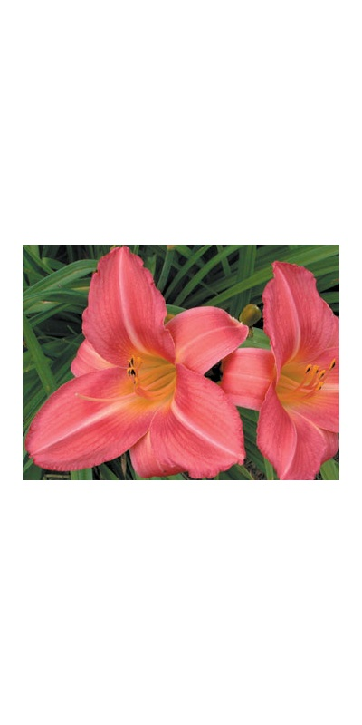 daylilies: OLALLIE ROSE RING (VT)