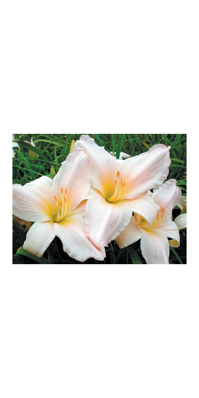 daylilies: TENDER LOVE